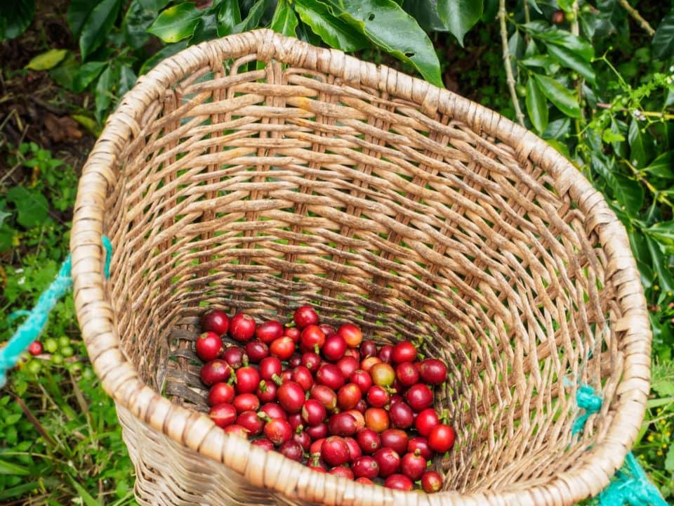 Basket of red coffee berries
