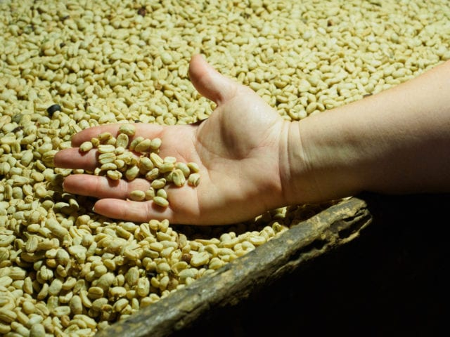 Dried coffee beans in a person's hand
