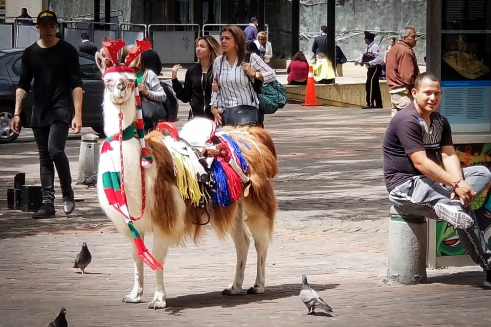 Llama dressed up for Christmas standing in a Quito plaza