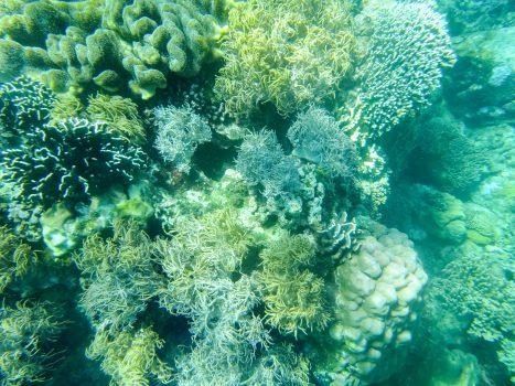 Coral near Apo Island
