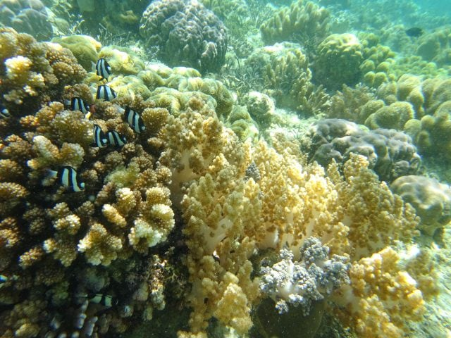 Humbug damselfish on a coral reef