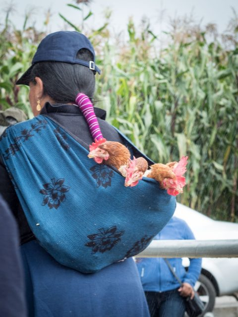 Otavalo woman carrying three chickens in a sling on her back.