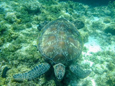 Sea turtle swimming over shallow reef