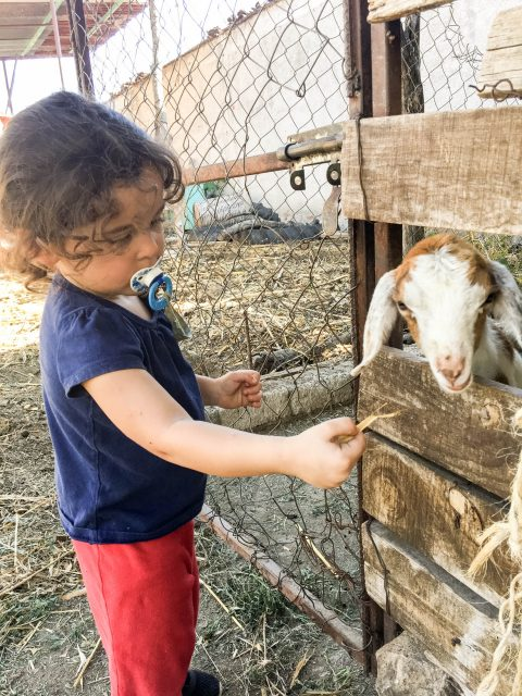 Francesca feeding baby goat