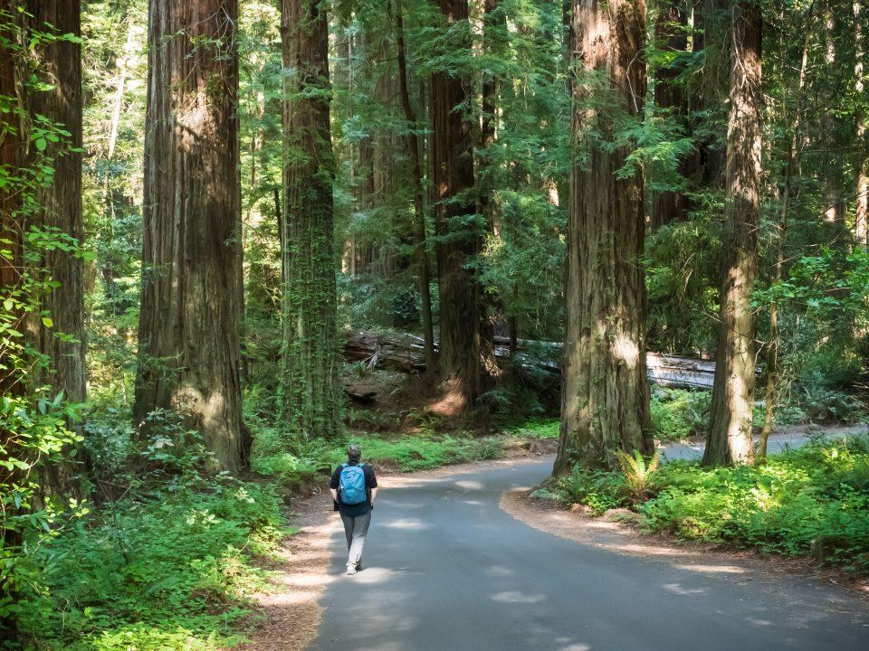 Figure walking among huge redwood trees