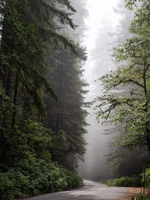 Redwood trees in fog