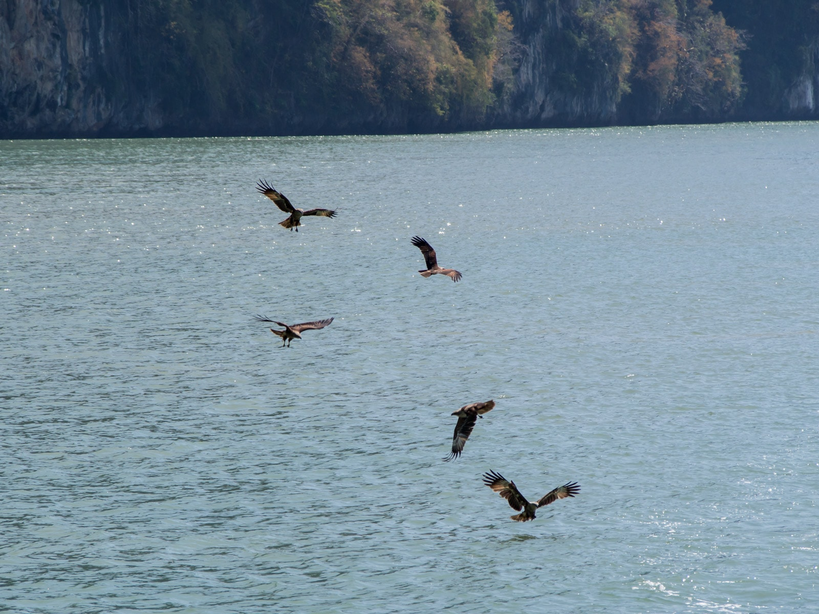 Five Brahminy kites over the water