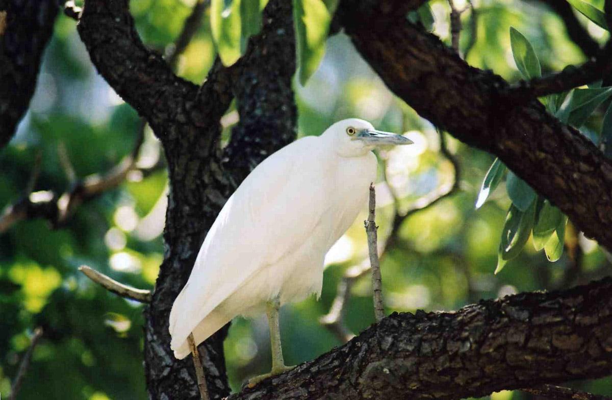 White eastern reef egret in a tree