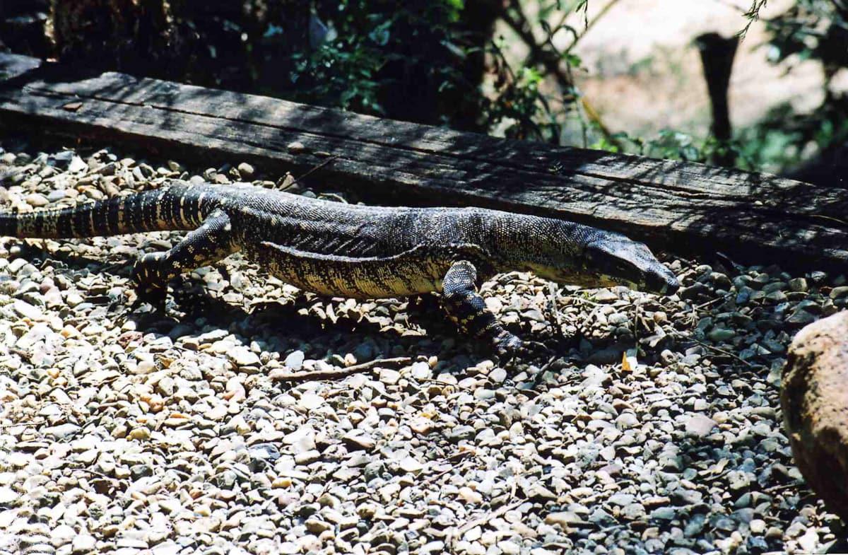 Monitor lizard walking